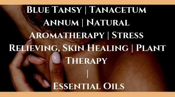 Blue Tansy _ Tanacetum Annum _ Natural Aromatherapy _ Stress Relieving, Skin Healing _ Plant Therapy _ Essential Oils Blog Post Banner Image